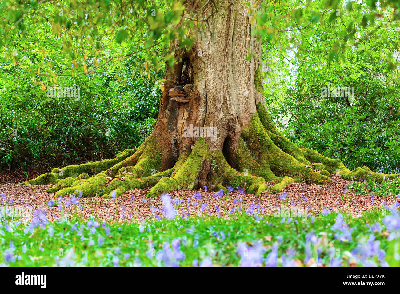 Close up of the moss covered trunk of a mature tree in a bluebell wood - Stock Image