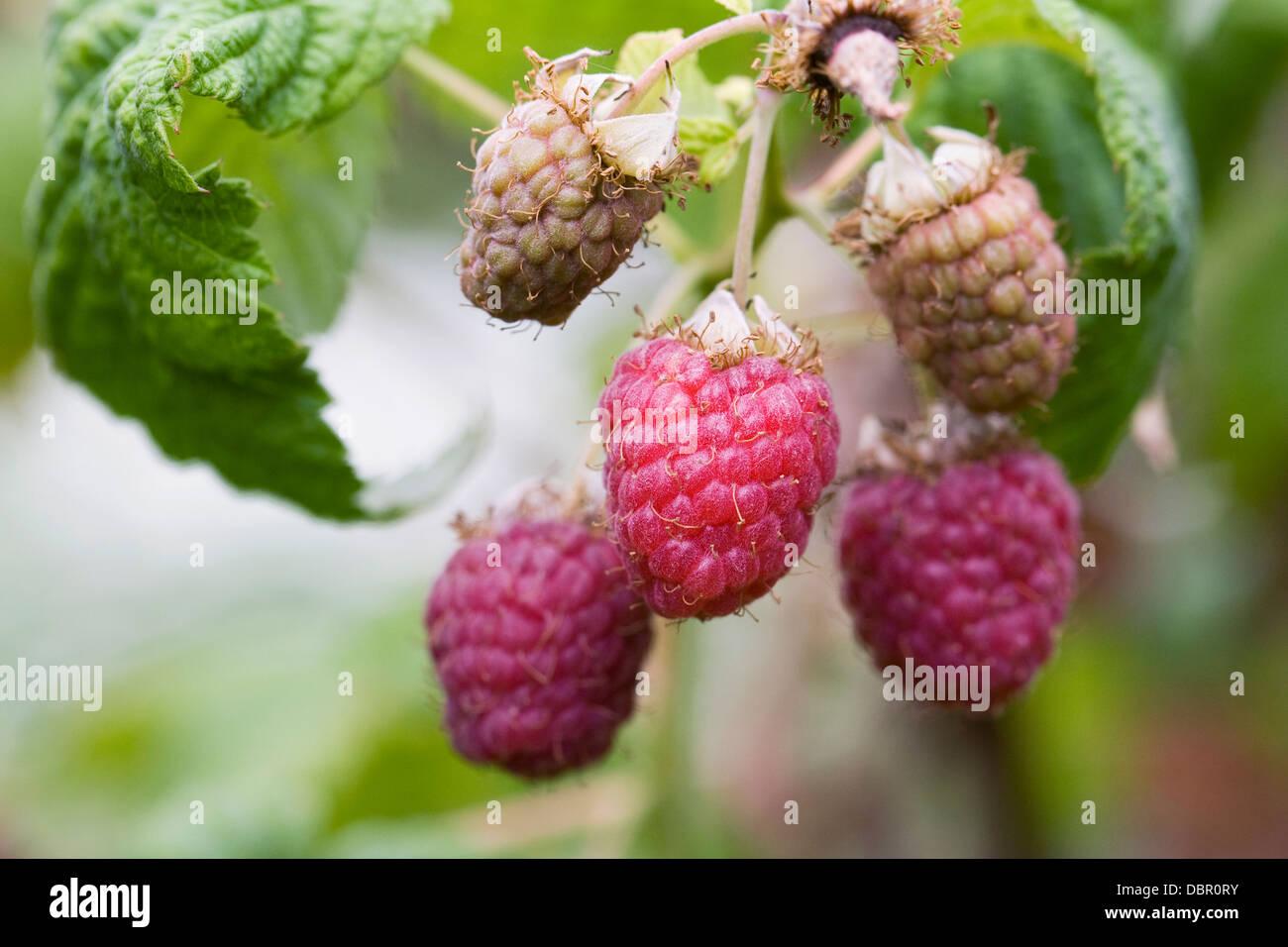 Rubus. Raspberry 'Malling Jewel' growing in a fruit garden. - Stock Image