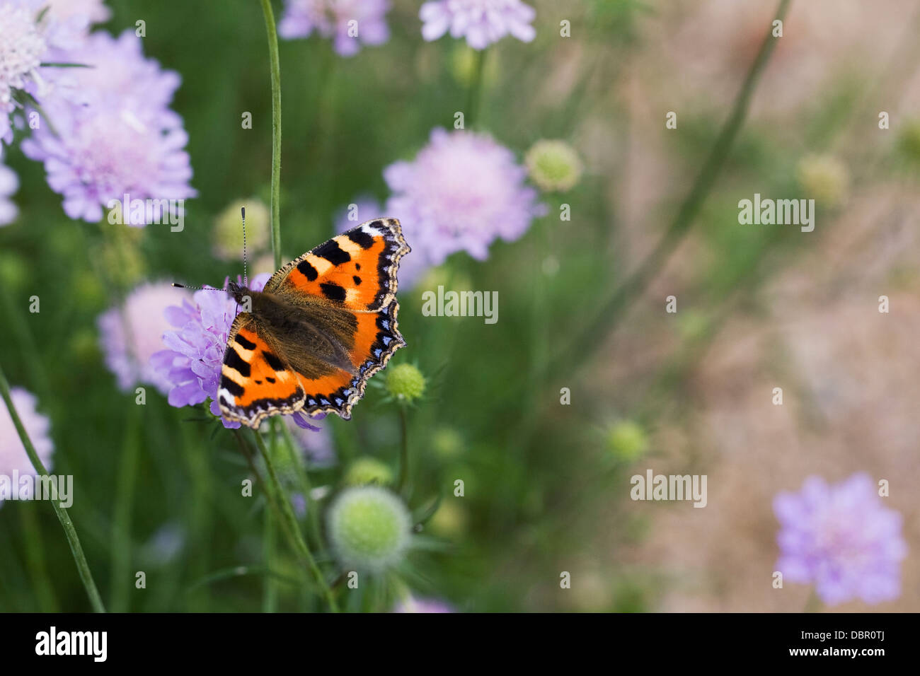 Aglais urticae. Small tortoiseshell butterfly on scabious flower. - Stock Image
