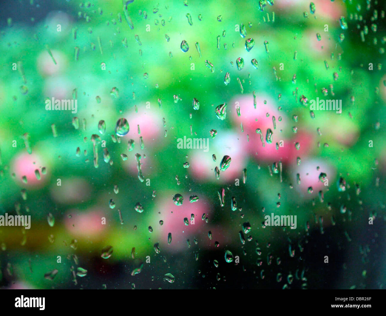 Rain drops on a window pane with blurred pink roses in the background. - Stock Image