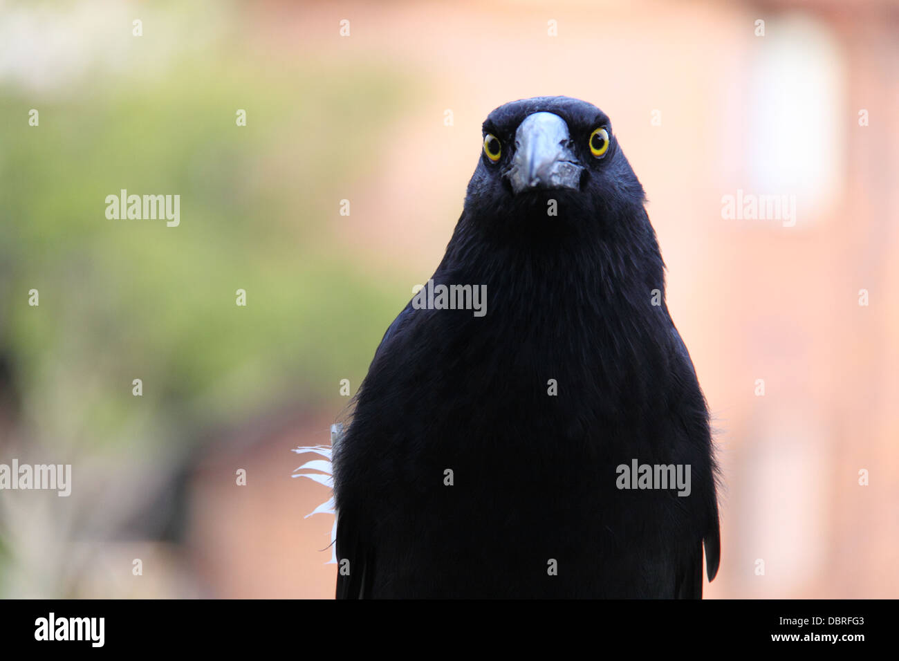 Pied Currawong (Strepera Graculina) - Stock Image