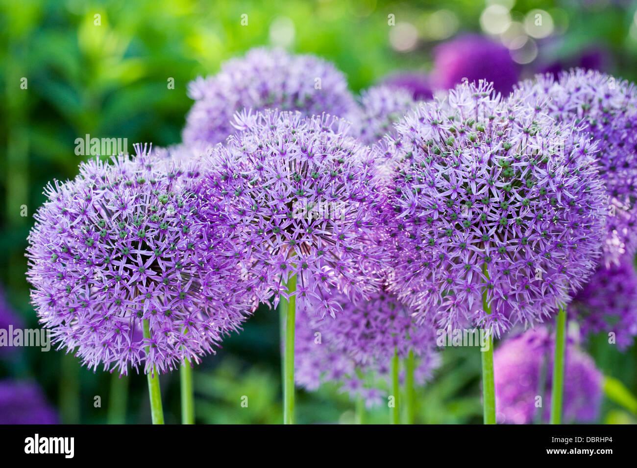Alliums growing in an English garden. - Stock Image
