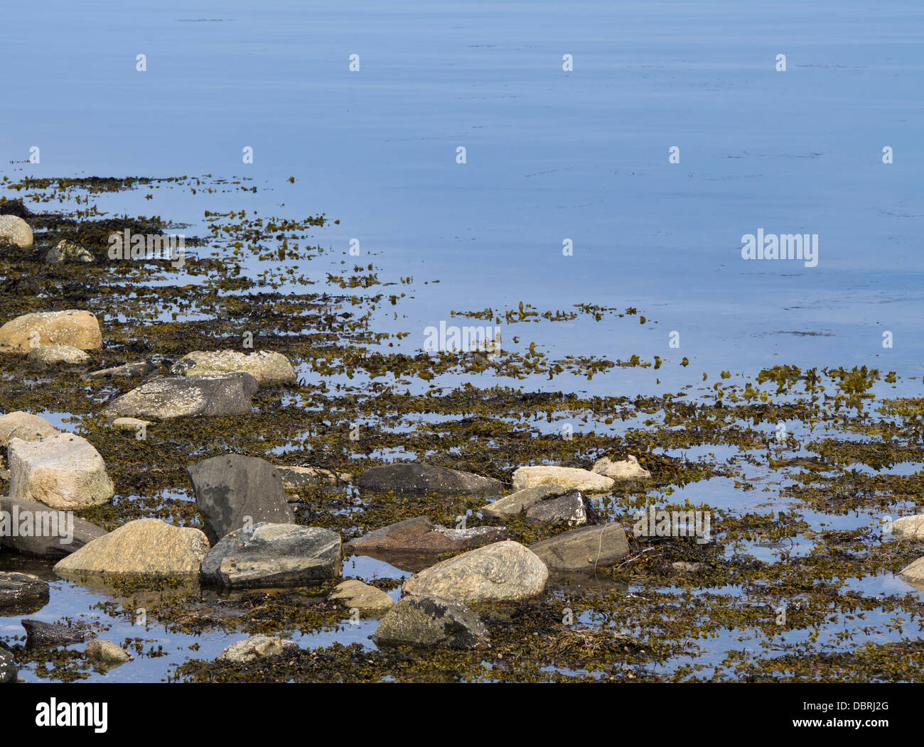 Coastline closeup, stones and littoral seaweeds Fucales a brown algae and kelp is common along the Norwegian shores - Stock Image
