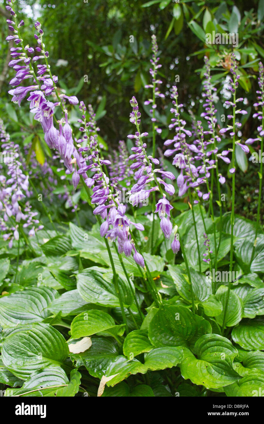 Hosta Plants With Colorful Purple Flowers In Summer Time Stock Photo