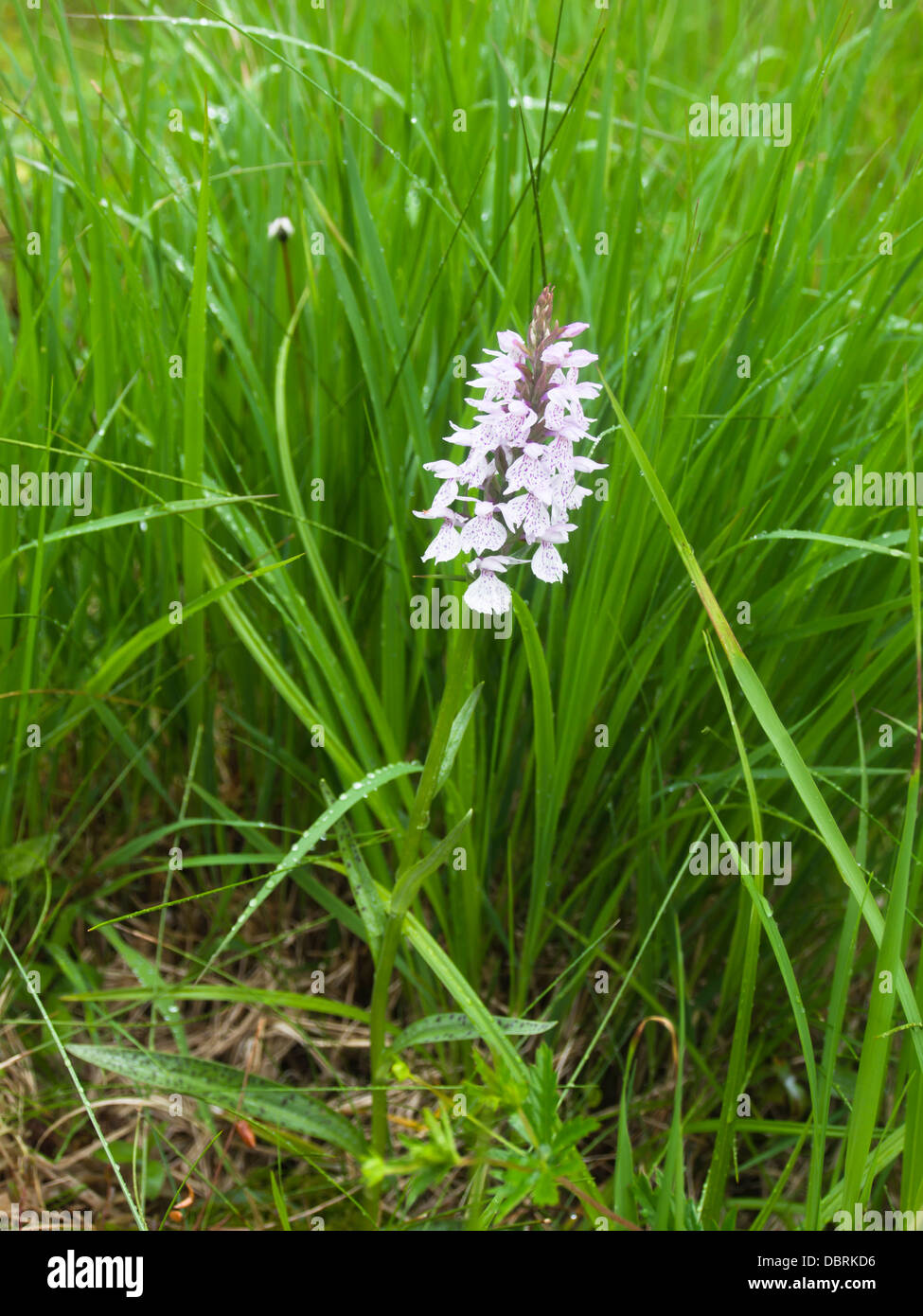 marsh orchid or spotted orchid Dactylorhiza  Orchidaceae in a protected moor in Oslo Norway - Stock Image