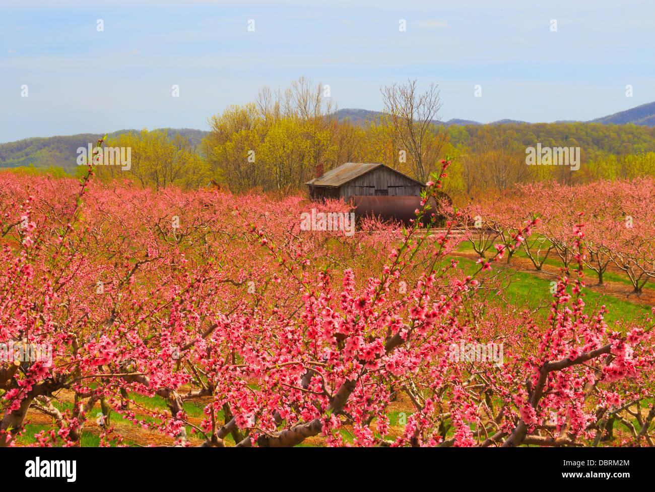 Blooming Peach Orchard, Crozet, Virginia, USA - Stock Image