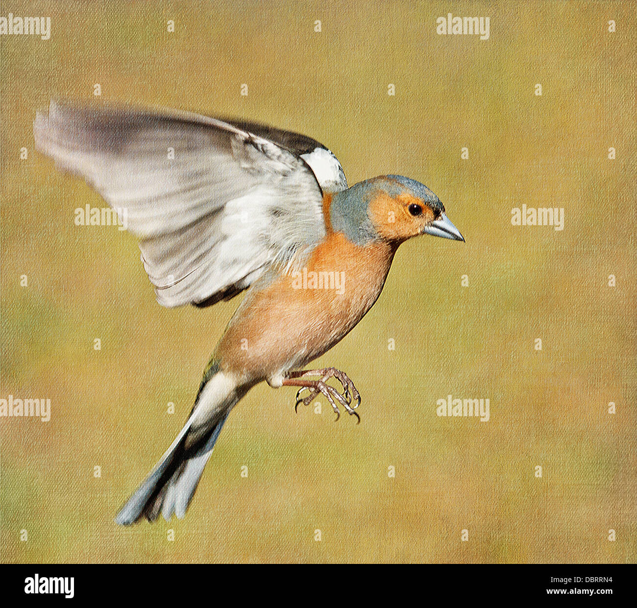 Textured male Chaffinch in flight - Stock Image