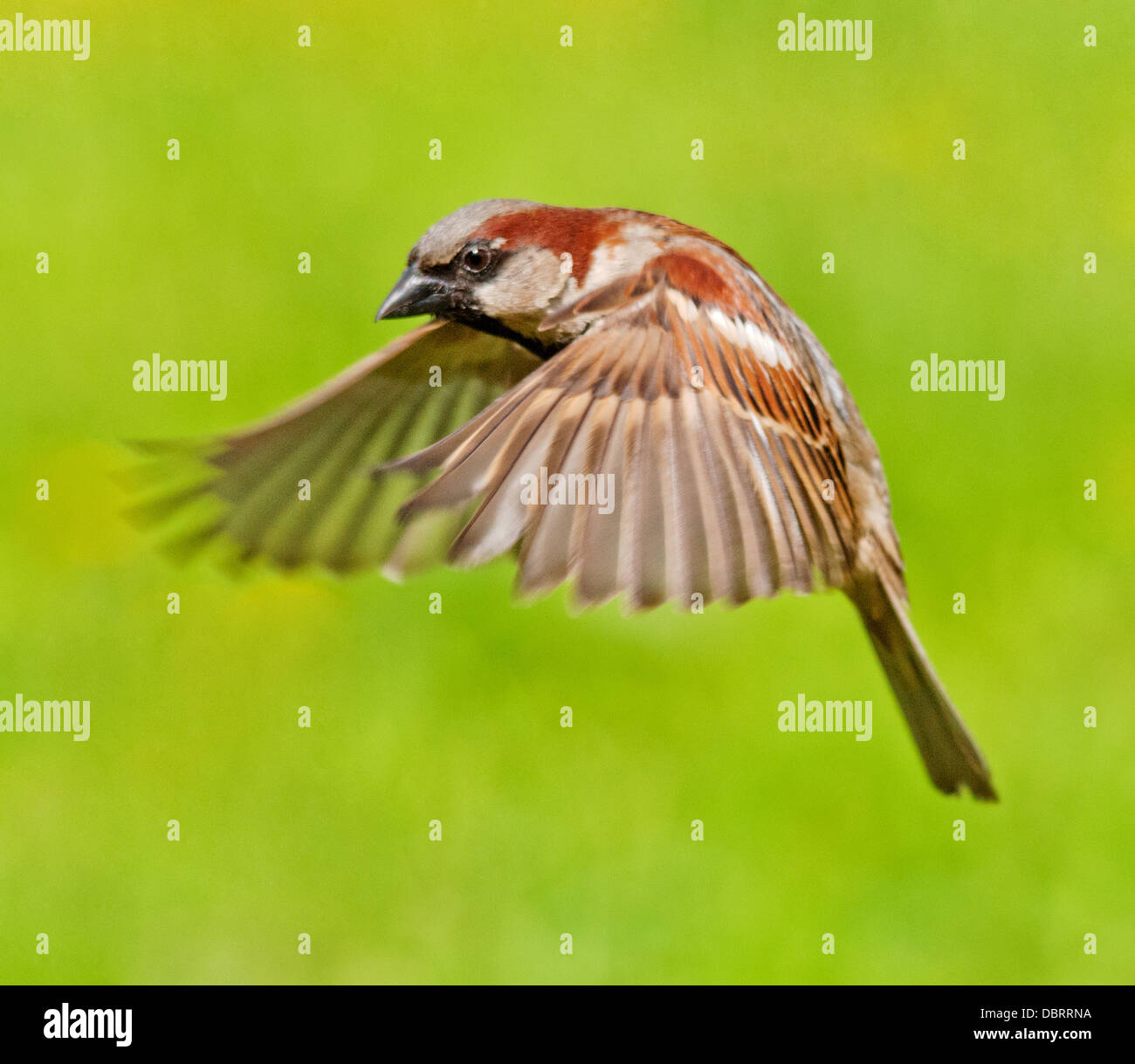 House Sparrow in flight - Stock Image