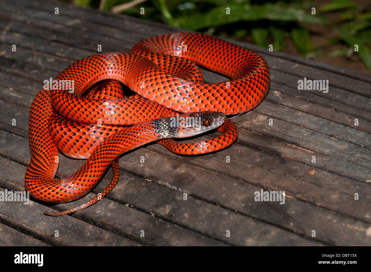 Black-headed calico snake (AKA Tschudi's false coral snake), Tambopata National Reserve, Peru - Stock Image