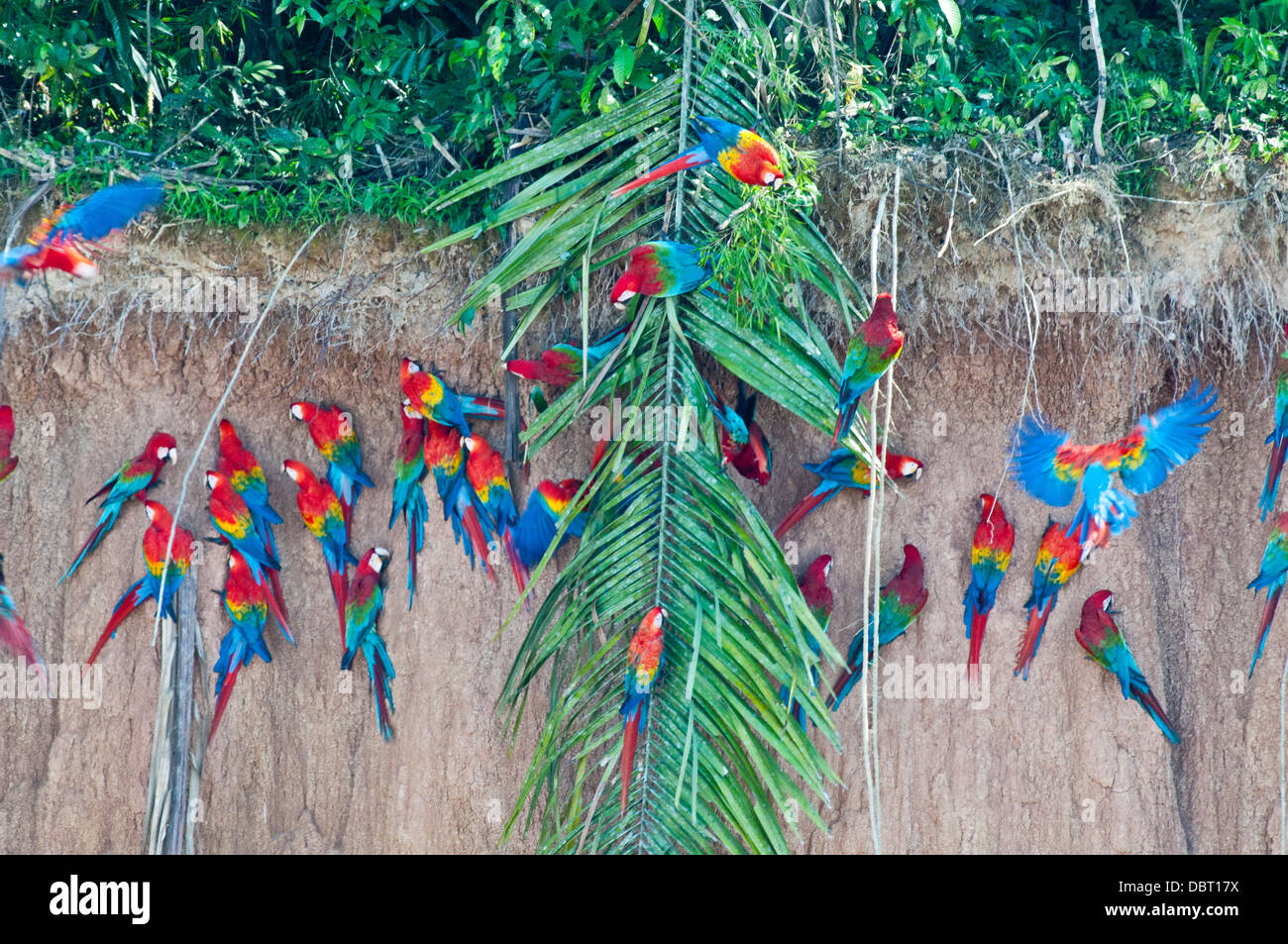 Red-and-green macaws at Chuncho culpa (clay lick) in Tambopata National Reserve, Peru - Stock Image