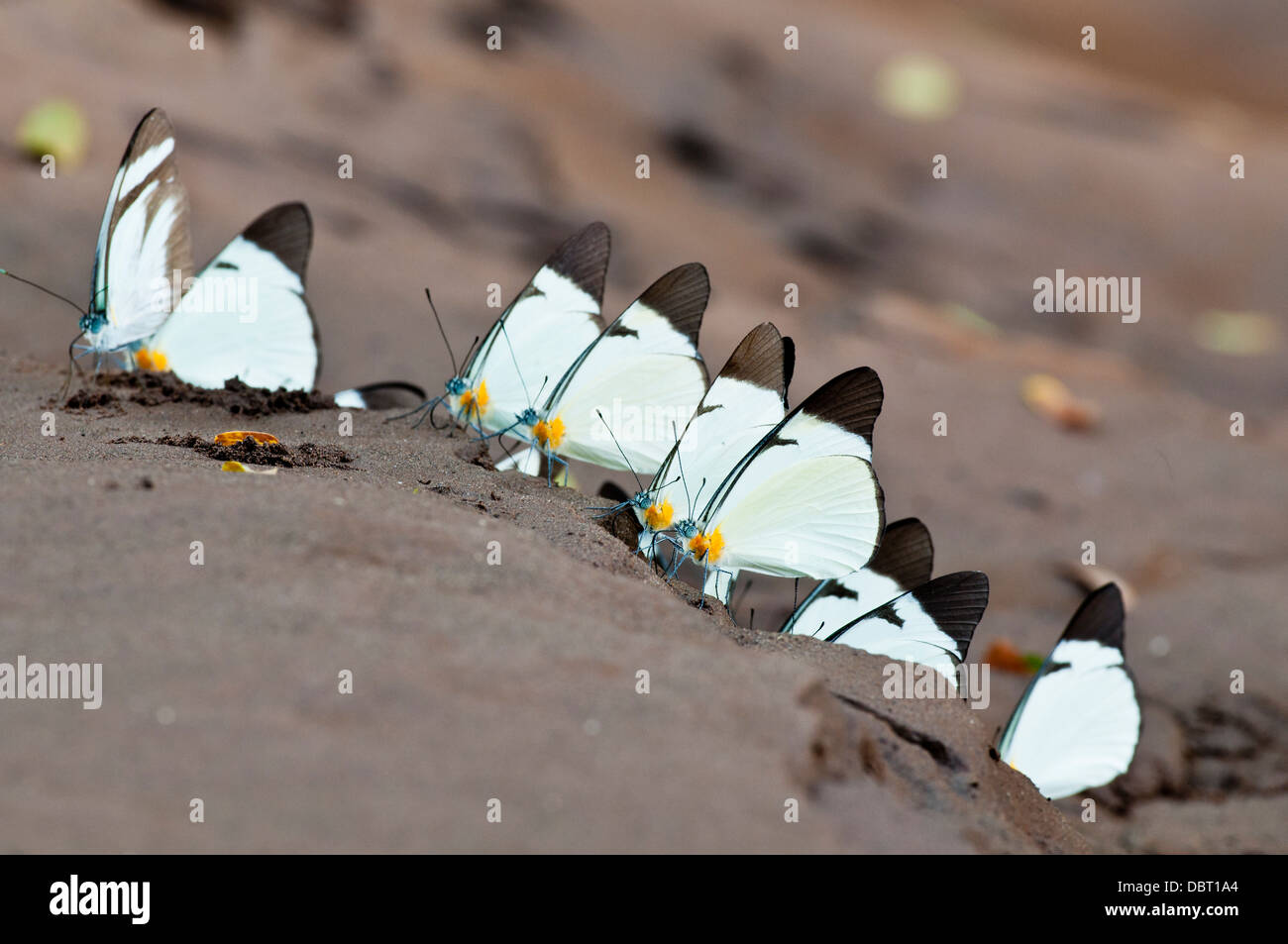 Lycimnia butterflies on wet sand beach on the Tambopata River in Peru, South America - Stock Image