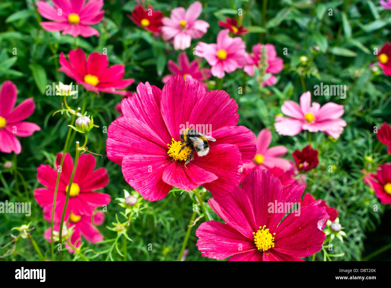 Pink cosmos flowers in a cottage garden. - Stock Image