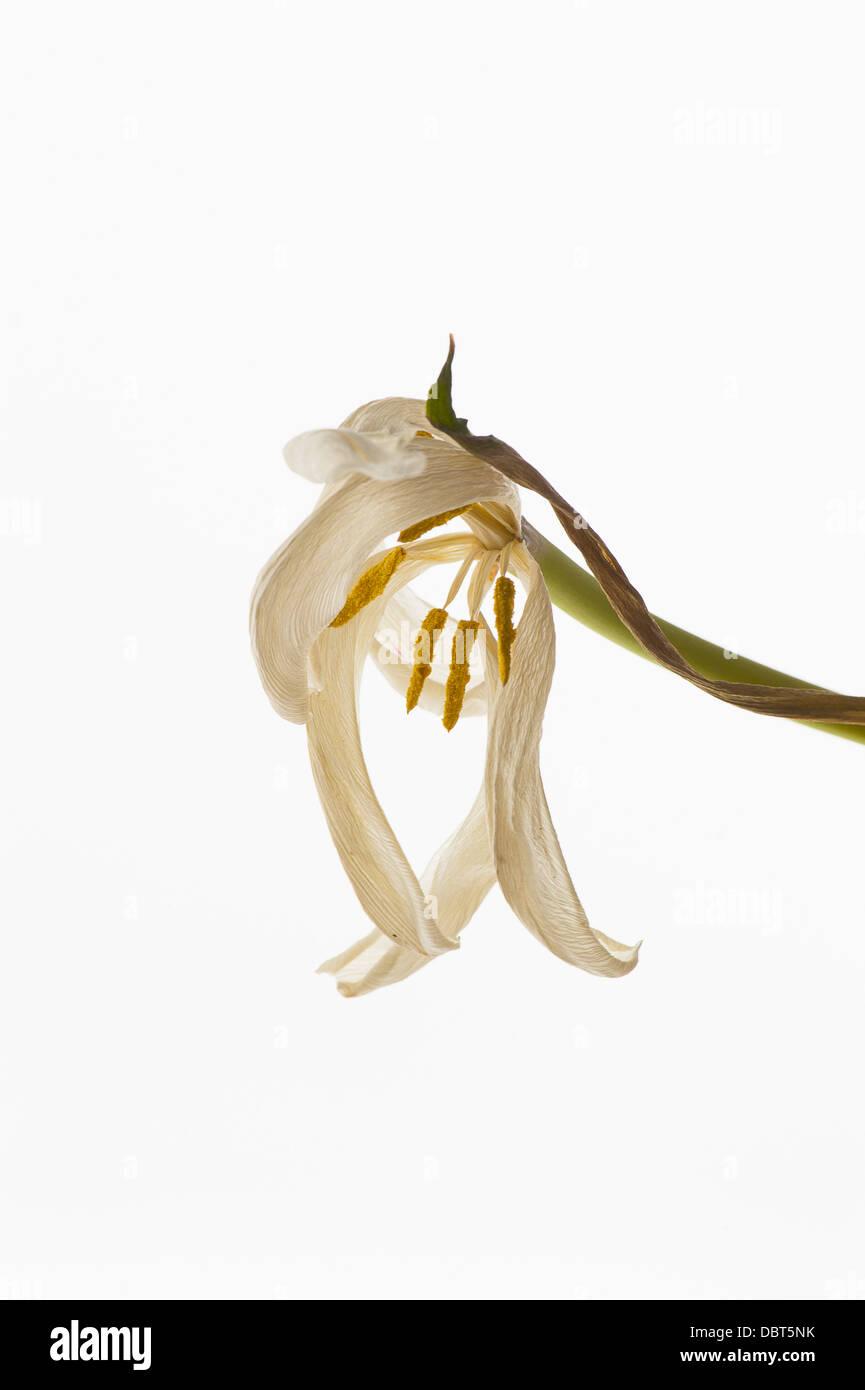 Fading tulip on white background - Stock Image