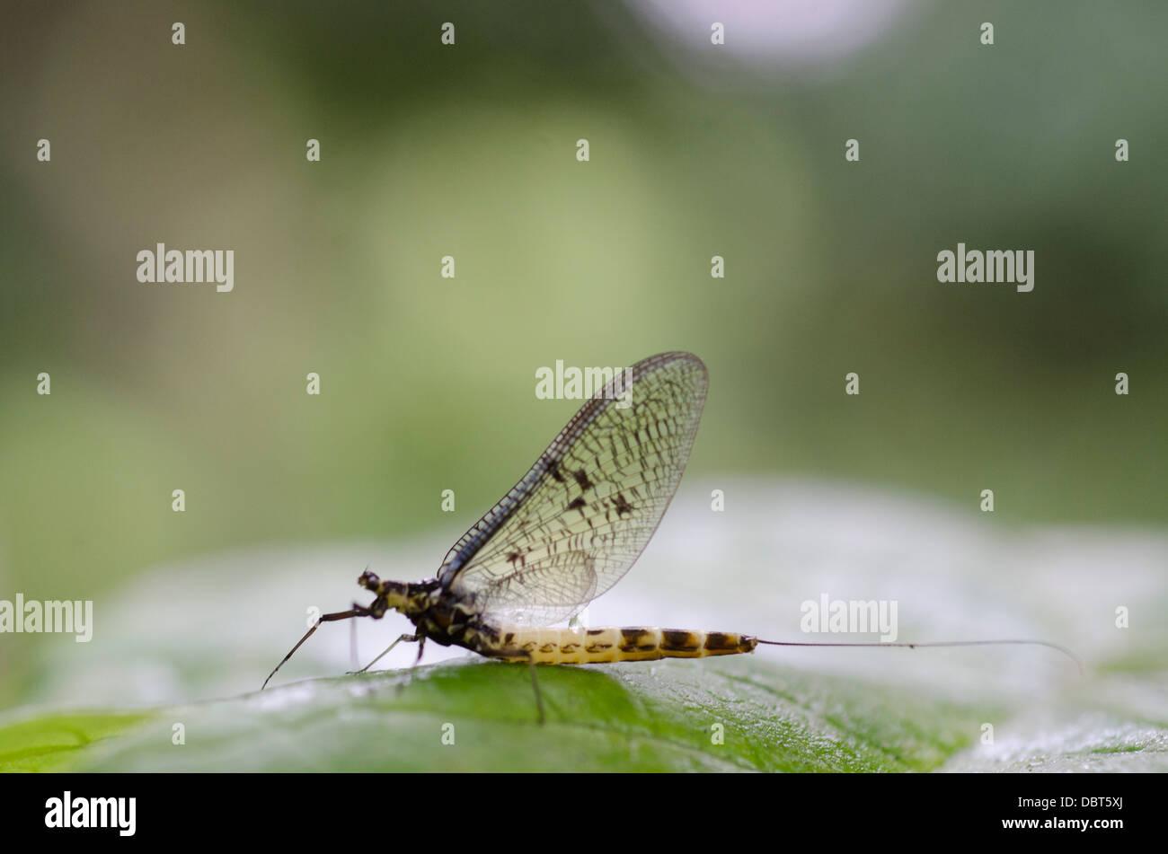 Ephemera vulgata - Stock Image