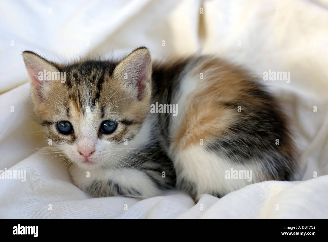 Calico Maine Coon Cats For Sale