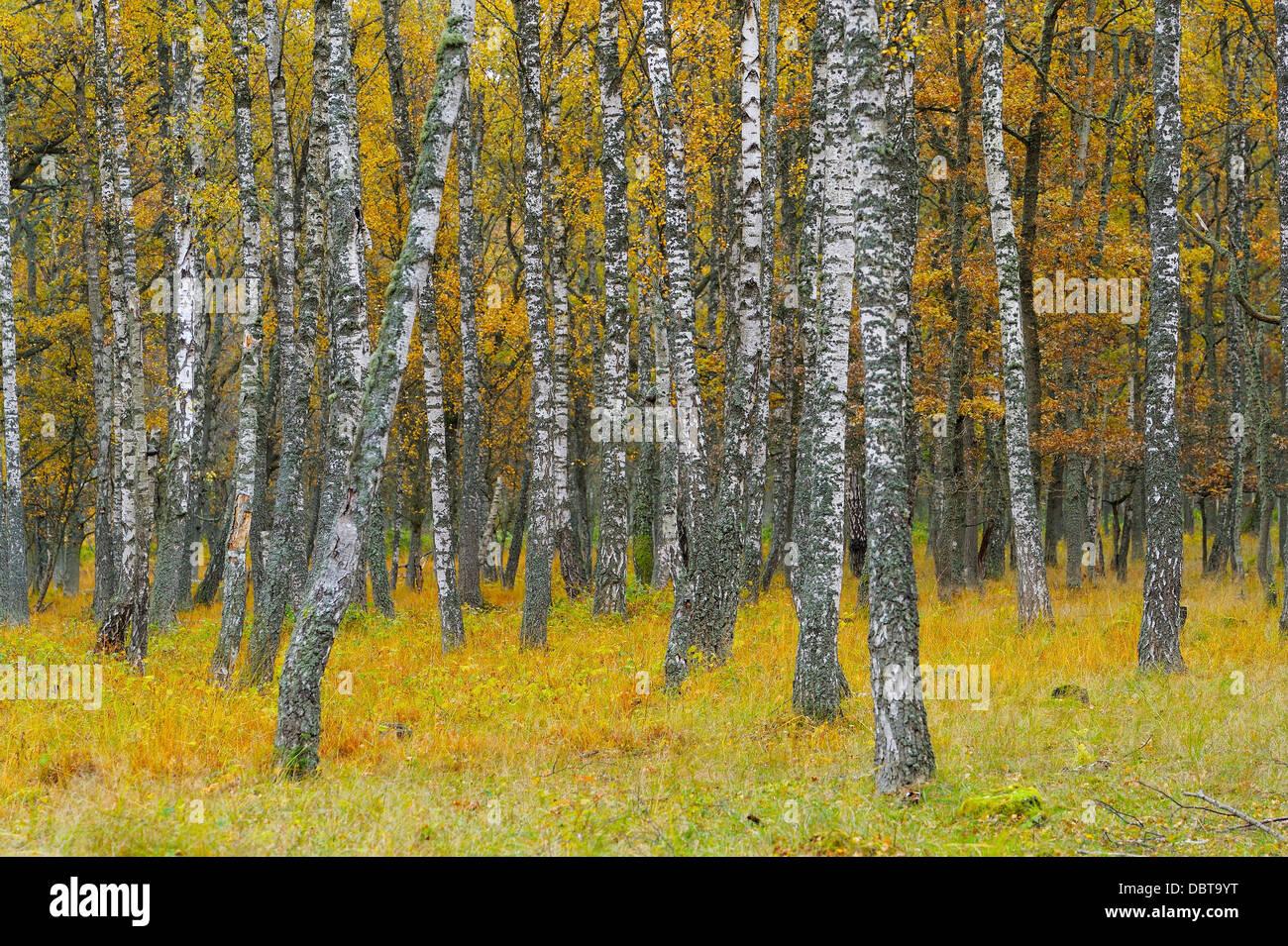 Birch trees - Stock Image