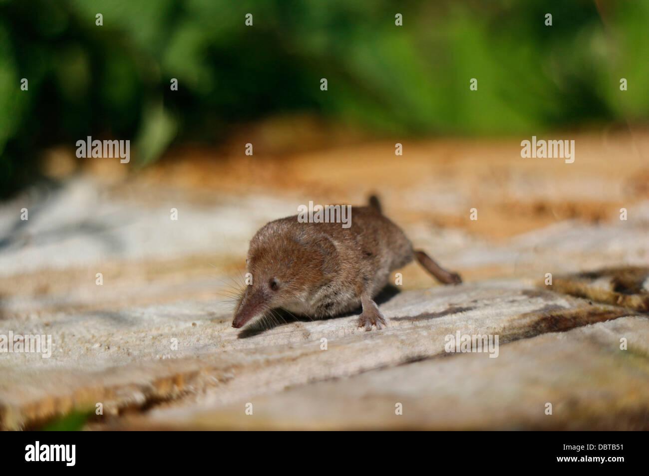 Zambales Shrew Rat Vole Garden Sto...