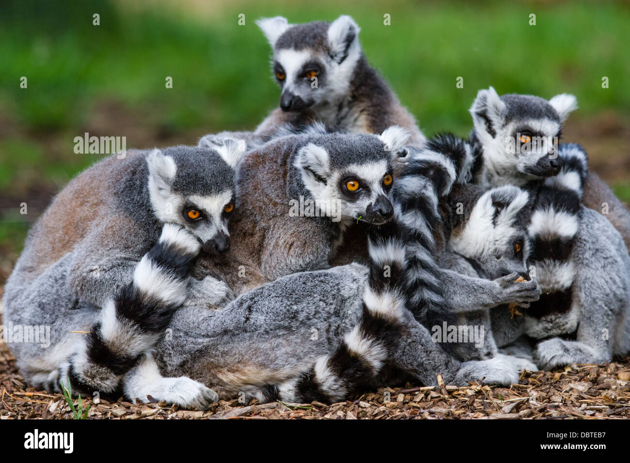 A family of ring-tailed lemurs - Stock Image