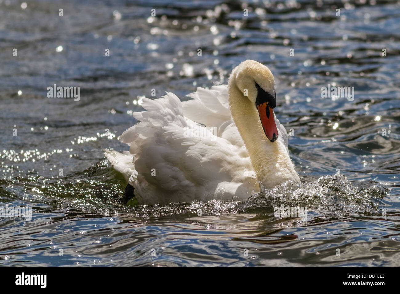 Mute swan in delicate sunlight and sparkling water, Yorkshire, UK - Stock Image