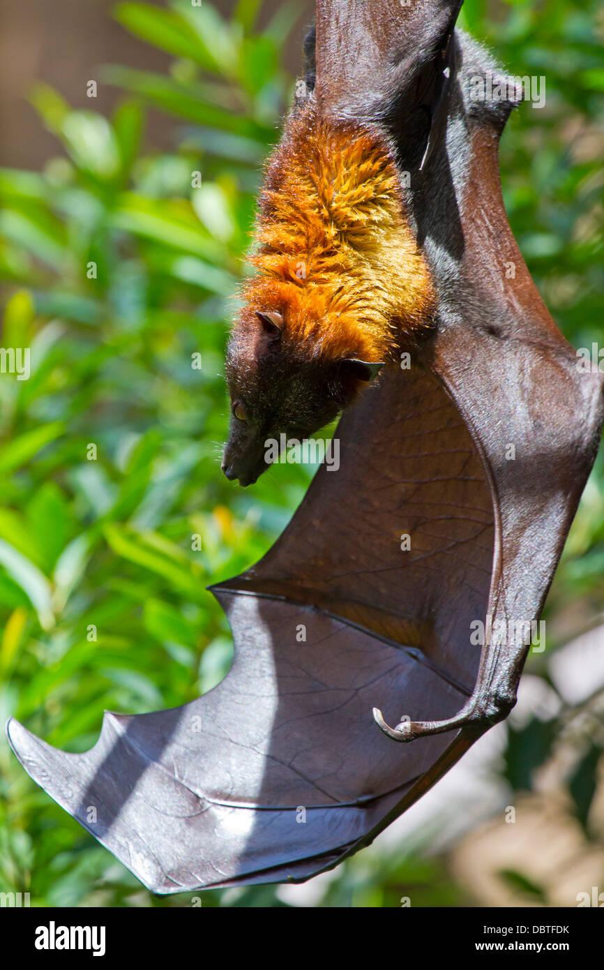 Giant Fruit Bat - Stock Image