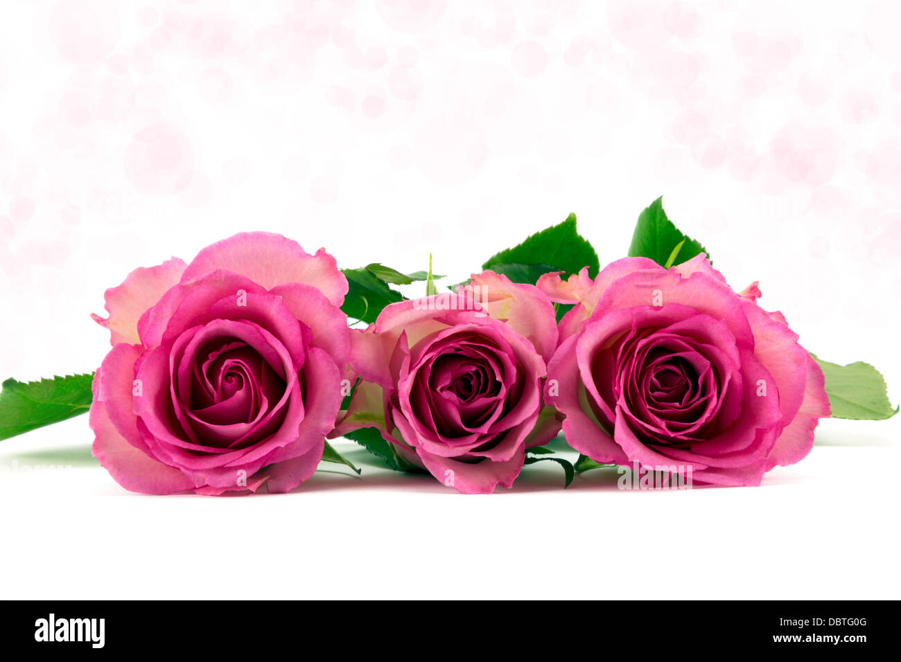 Three pastel pink roses with soft pink background - Stock Image
