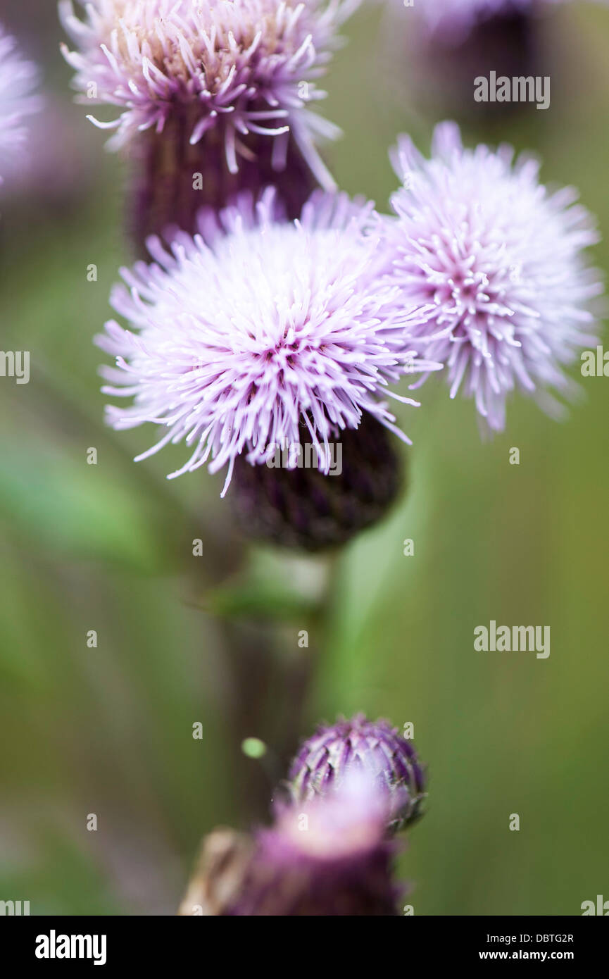 thistle plant flower pretty - Stock Image