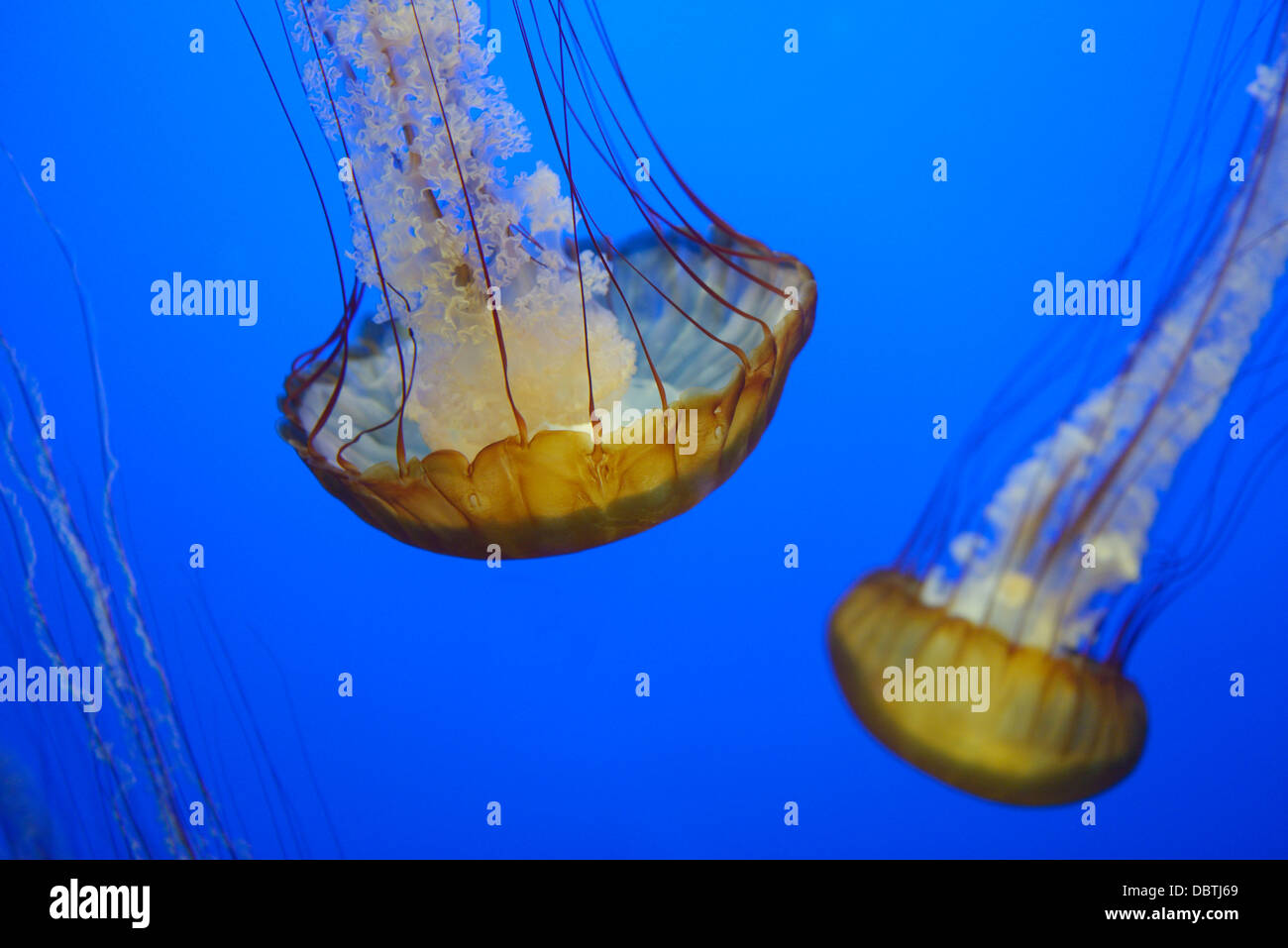 Pacific sea nettles, Chrysaora fuscescens, also known as West Coast nettles, native to the eastern Pacific Ocean. - Stock Image