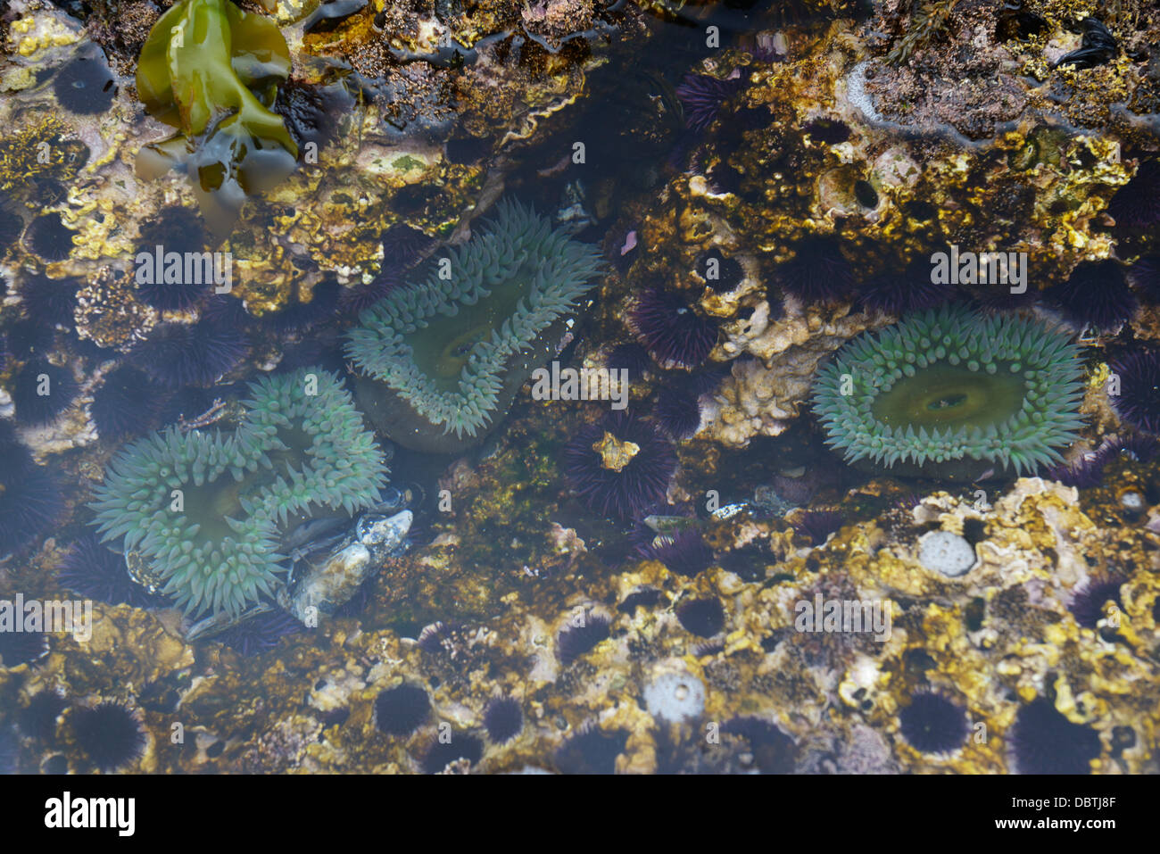 Tidepools with anemones, Point Lobos State Natural Reserve, CA - Stock Image