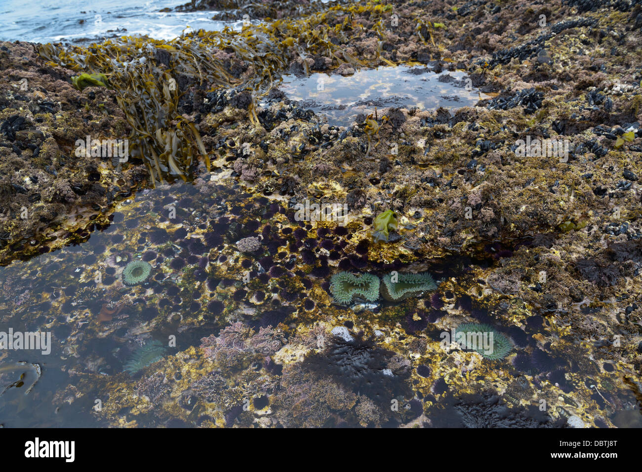 Tidepools with kelp and anemones, Point Lobos State Natural Reserve, CA - Stock Image