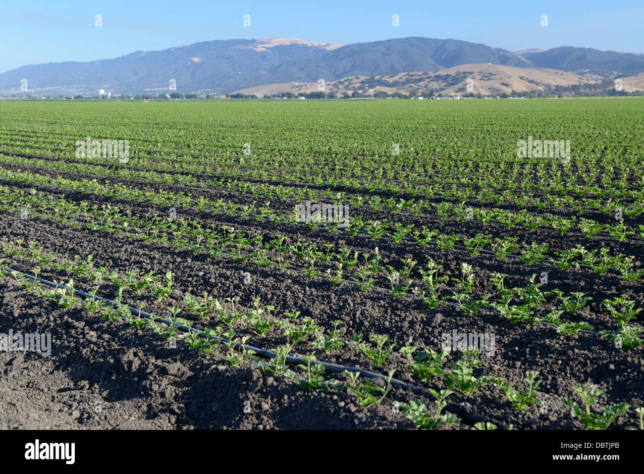 Rows of young sprouting vegetables, Salinas Valley, central CA - Stock Image