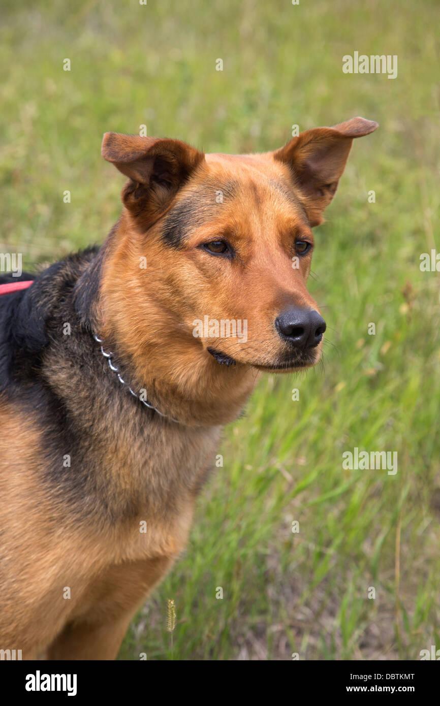 German Shepherd crossbred dog Stock Photo