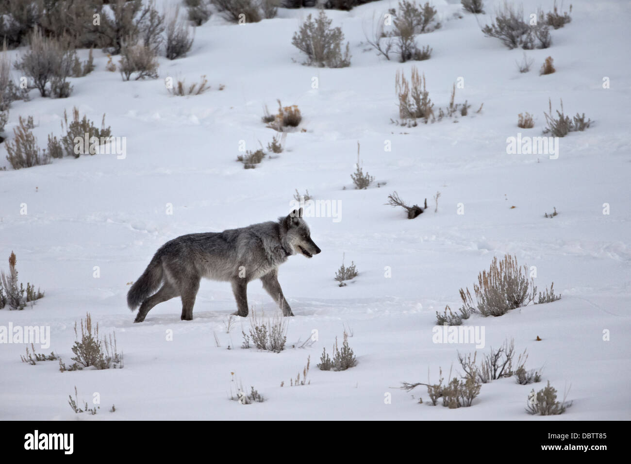 Gray wolf (Canis lupus) 755M of the Lamar Canyon Pack, Yellowstone National Park, Wyoming, USA Stock Photo