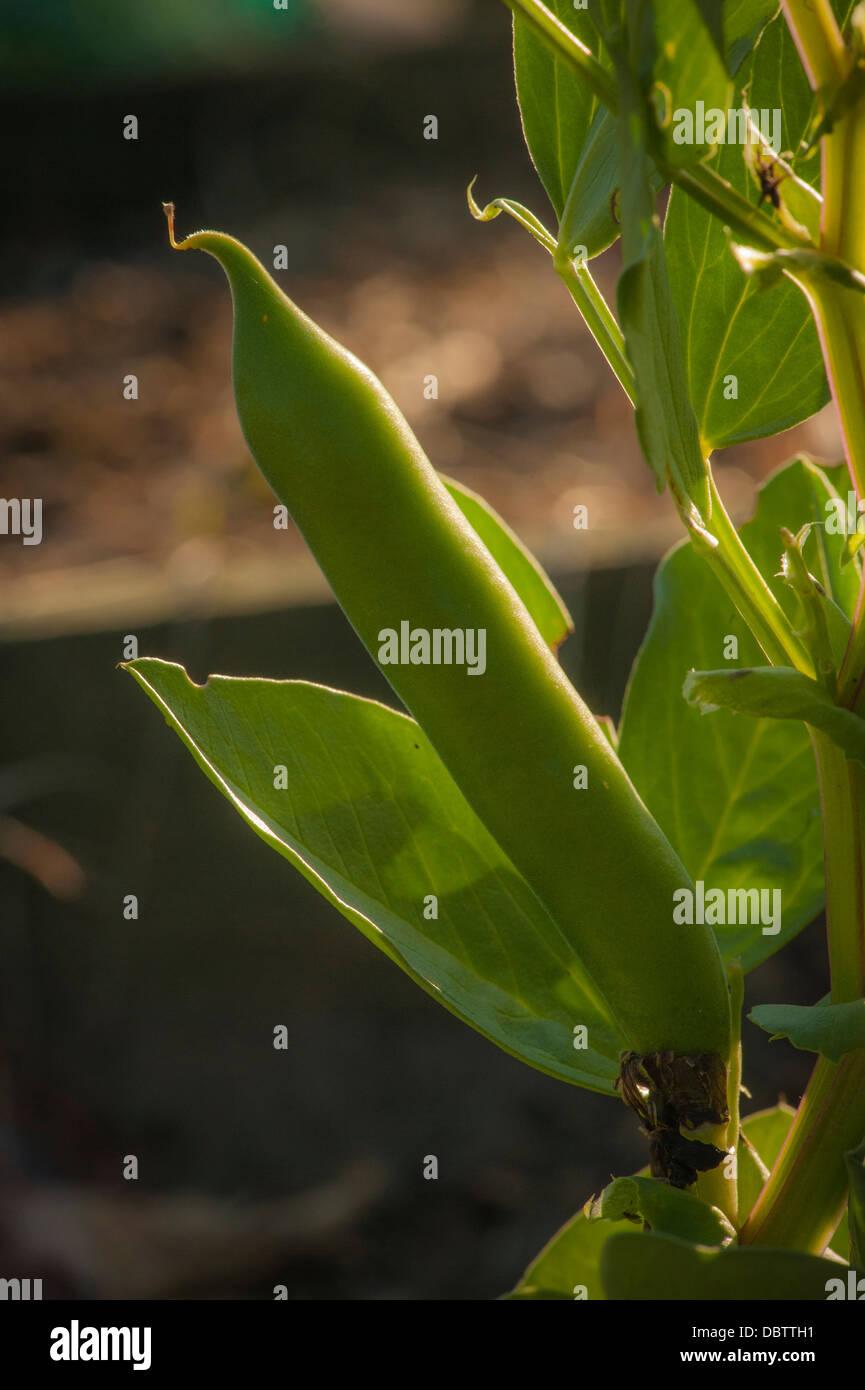 Broad bean growing at allotment - Stock Image