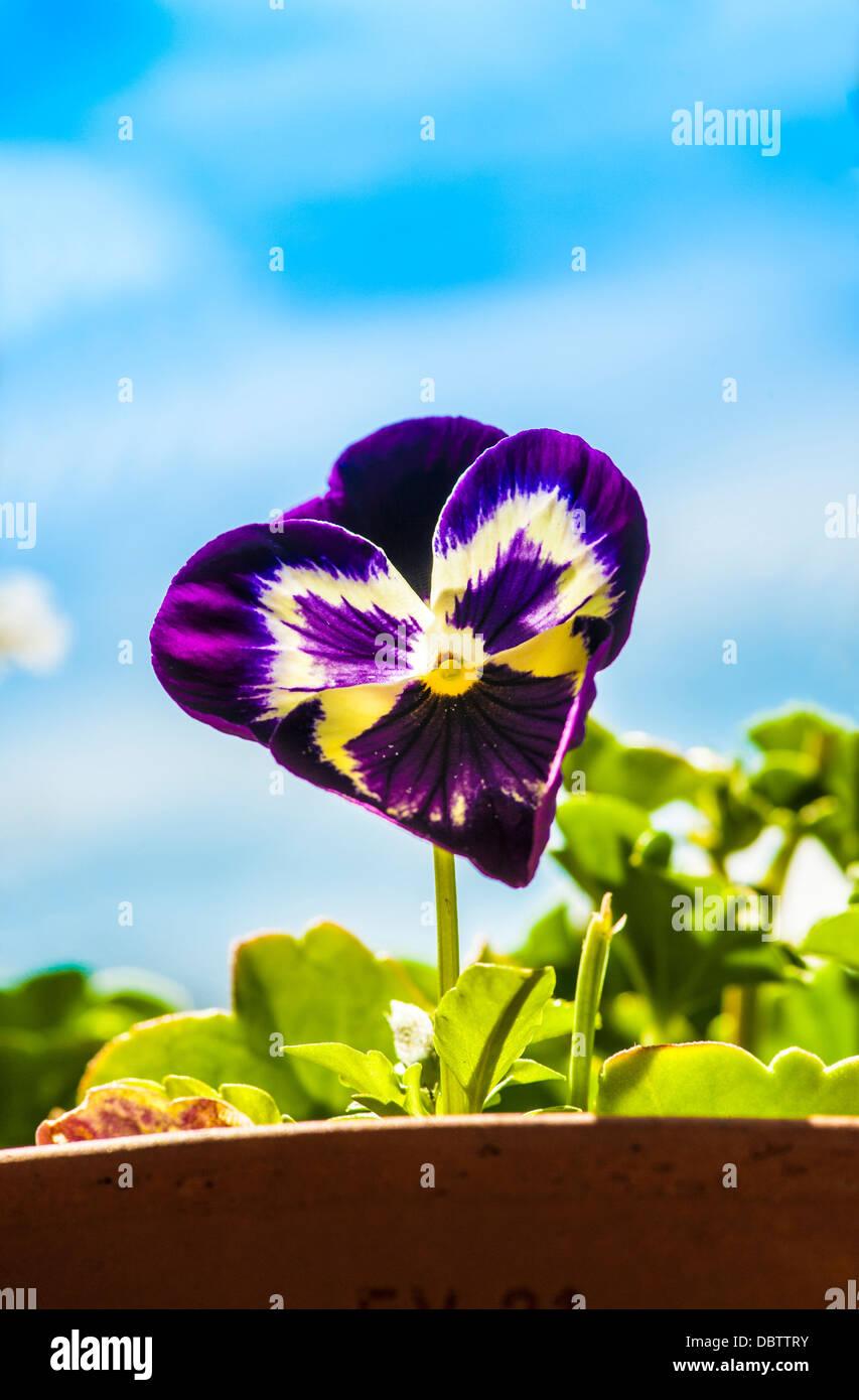 Viola flower against blue sky - Stock Image