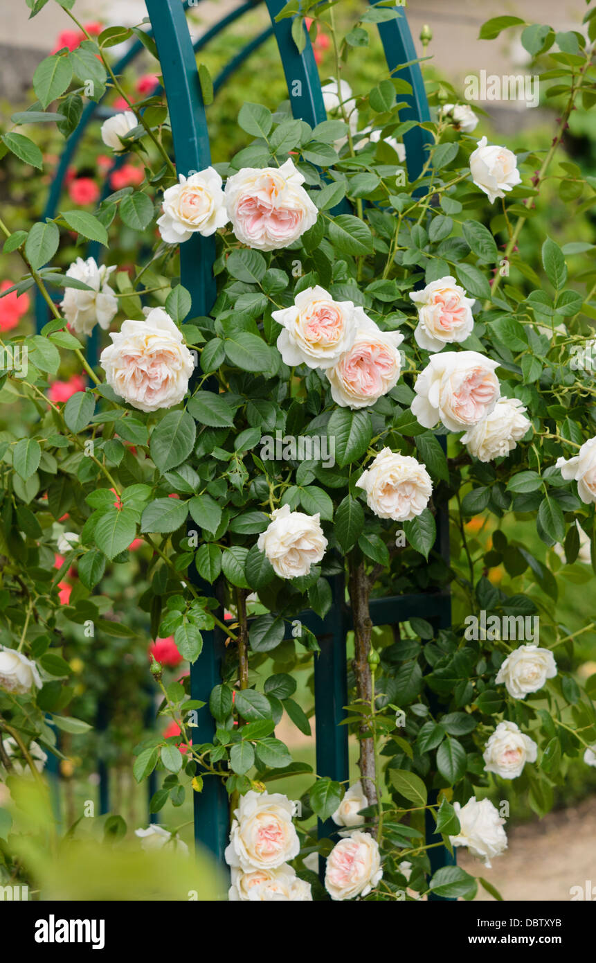 jardin et maison Climbing rose (Rosa Mon Jardin et Ma Maison)