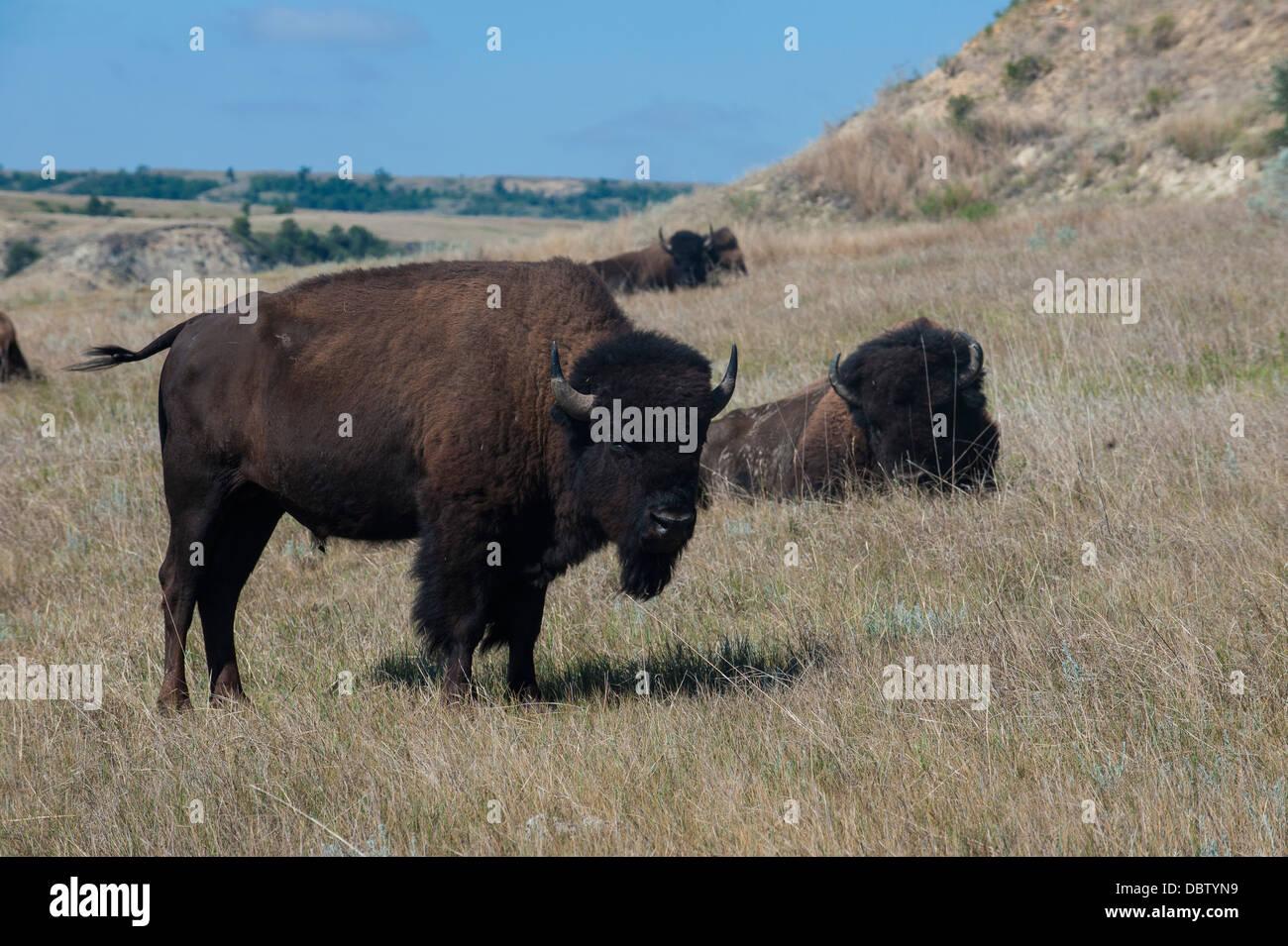 Wild buffalos in the Roosevelt National Park, North Dakota, United States of America, North America - Stock Image