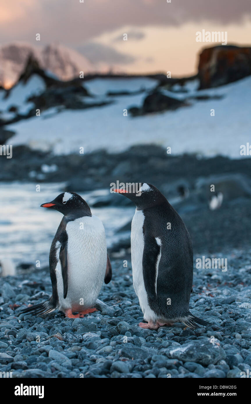 Penguin colony on half Moon Bay, South Shetland Islands, Antarctica, Polar Regions - Stock Image