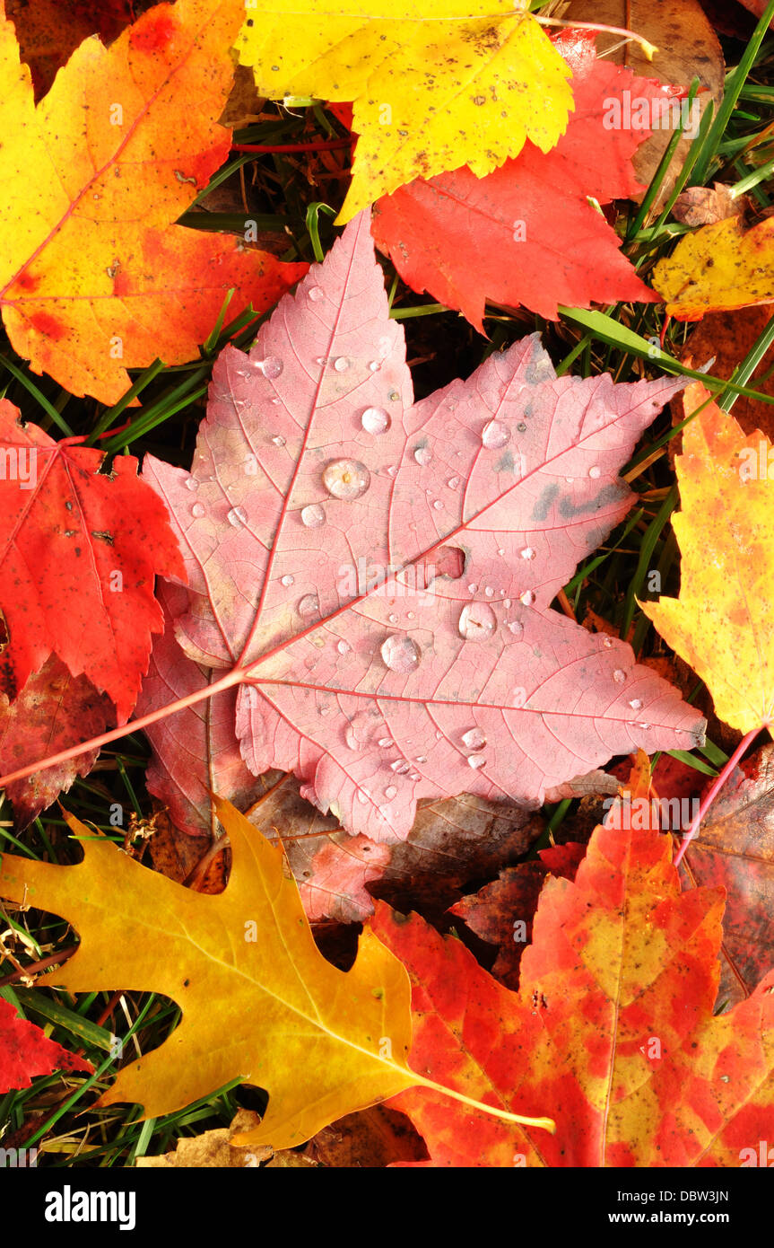 Autumn leaves / maple leaf - Stock Image