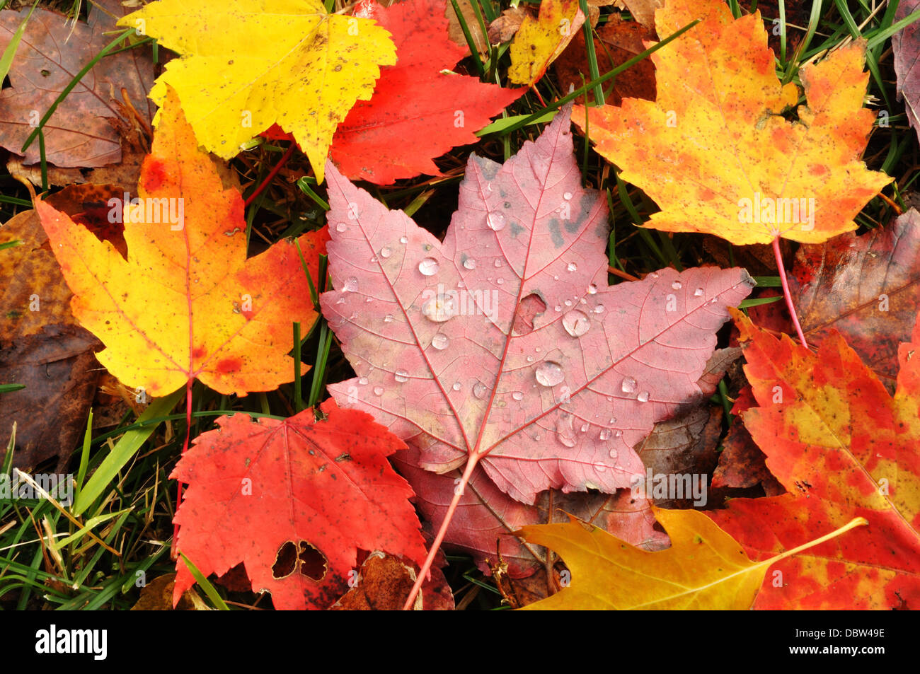 Autumn leaves - maple leaves - Stock Image