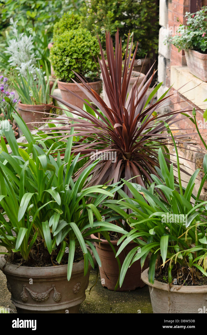 Cabbage tree (Cordyline australis 'Purpurea') and African lily (Agapanthus) - Stock Image