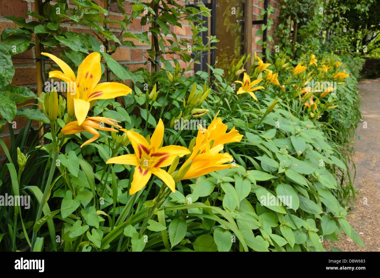 Day lily (Hemerocallis Bonanza) Stock Photo