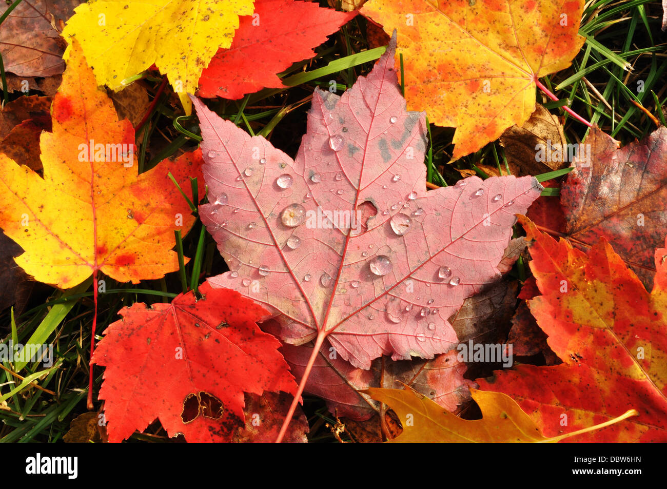 Close-up of Wet Colorful Maple autumn Leaves in the Fall / Autumn - Stock Image