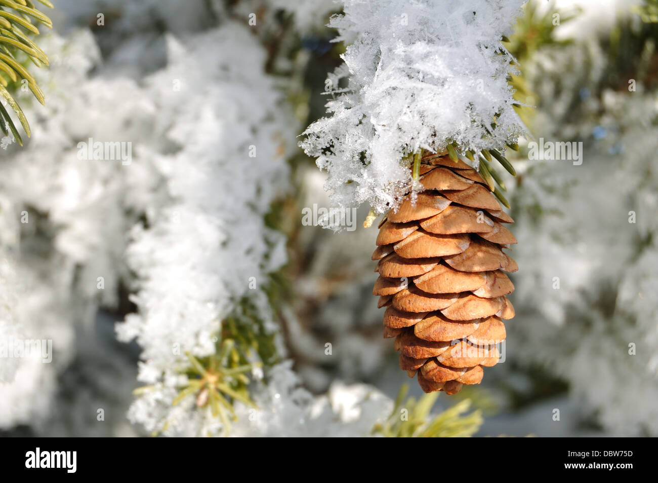 Pine cone on snow covered branch in winter - Stock Image