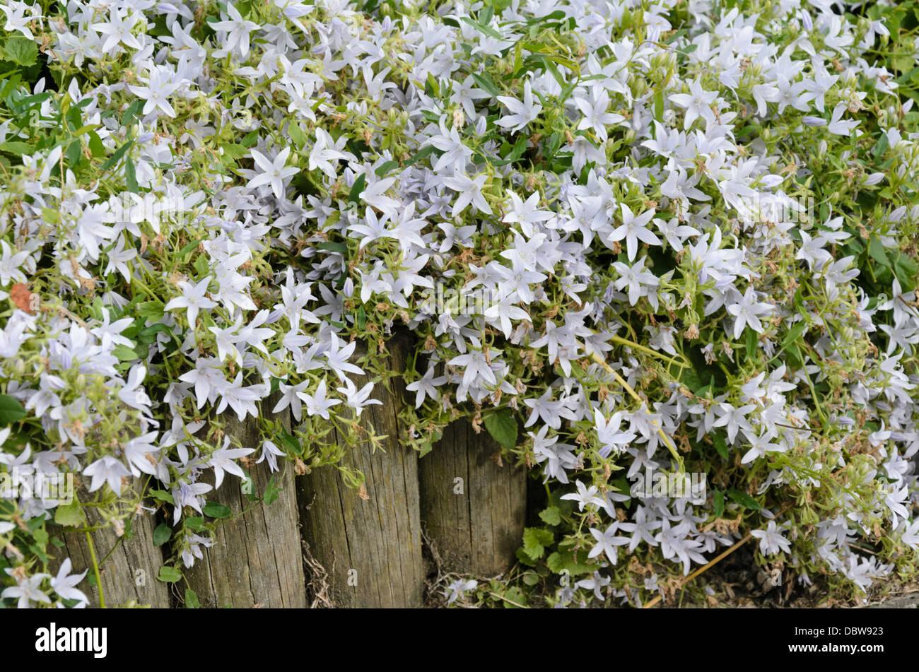 Serbian bellflower (Campanula poscharskyana 'Hirsch White') - Stock Image