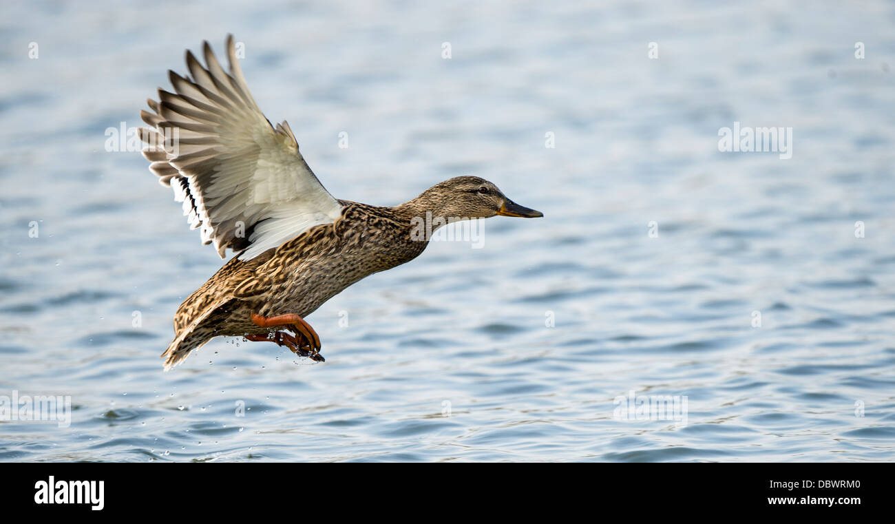 Mallard Duck Flying Over Water - Stock Image