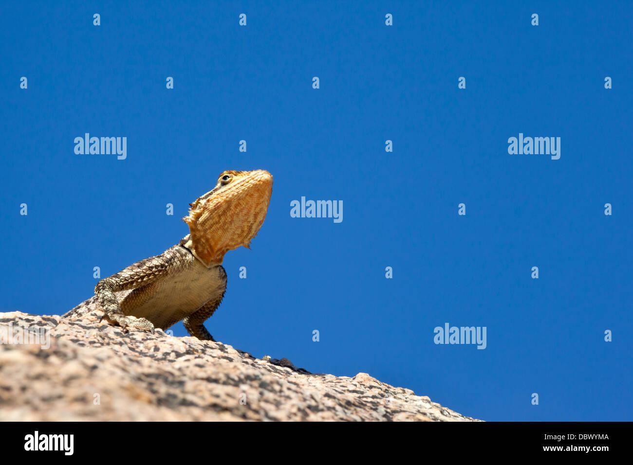 Namibian rock agama (Agama planiceps), Damaraland, Namibia, May 2013 - Stock Image