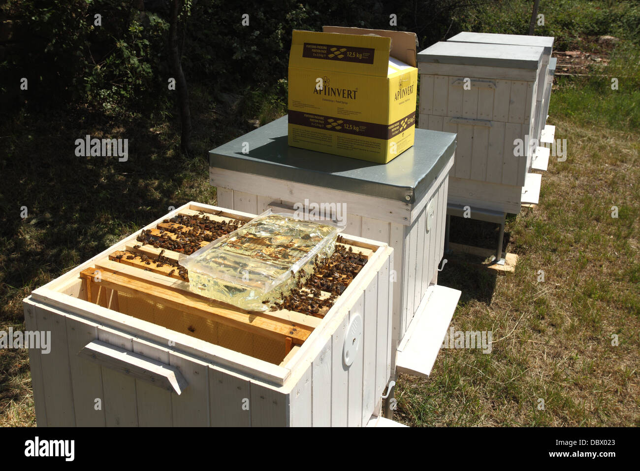 Feeding European honey bee (Apis mellifera) colonies with inverted sugar syrup. - Stock Image