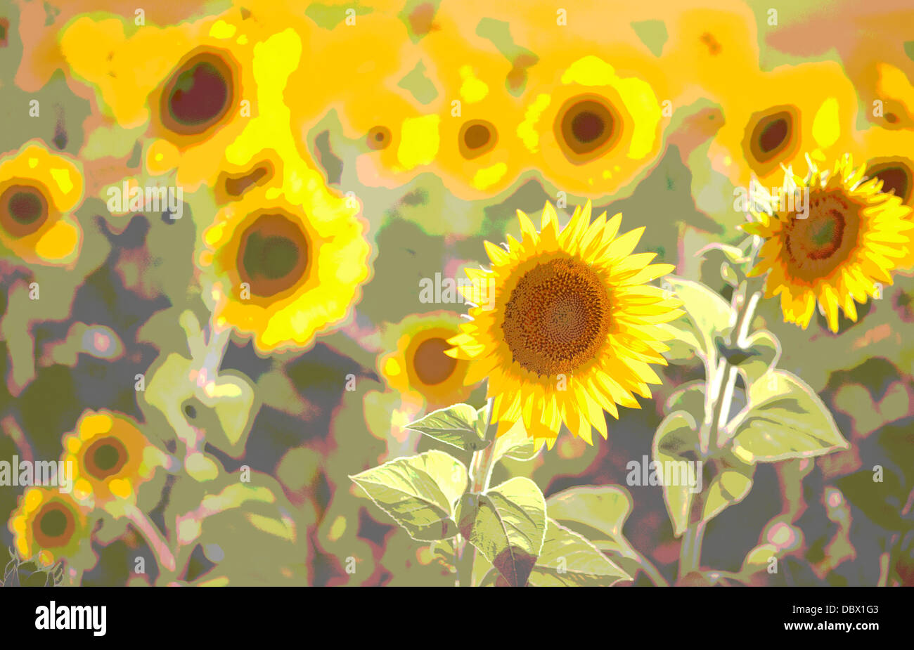 sunflowers ,sunset , solarised - Stock Image