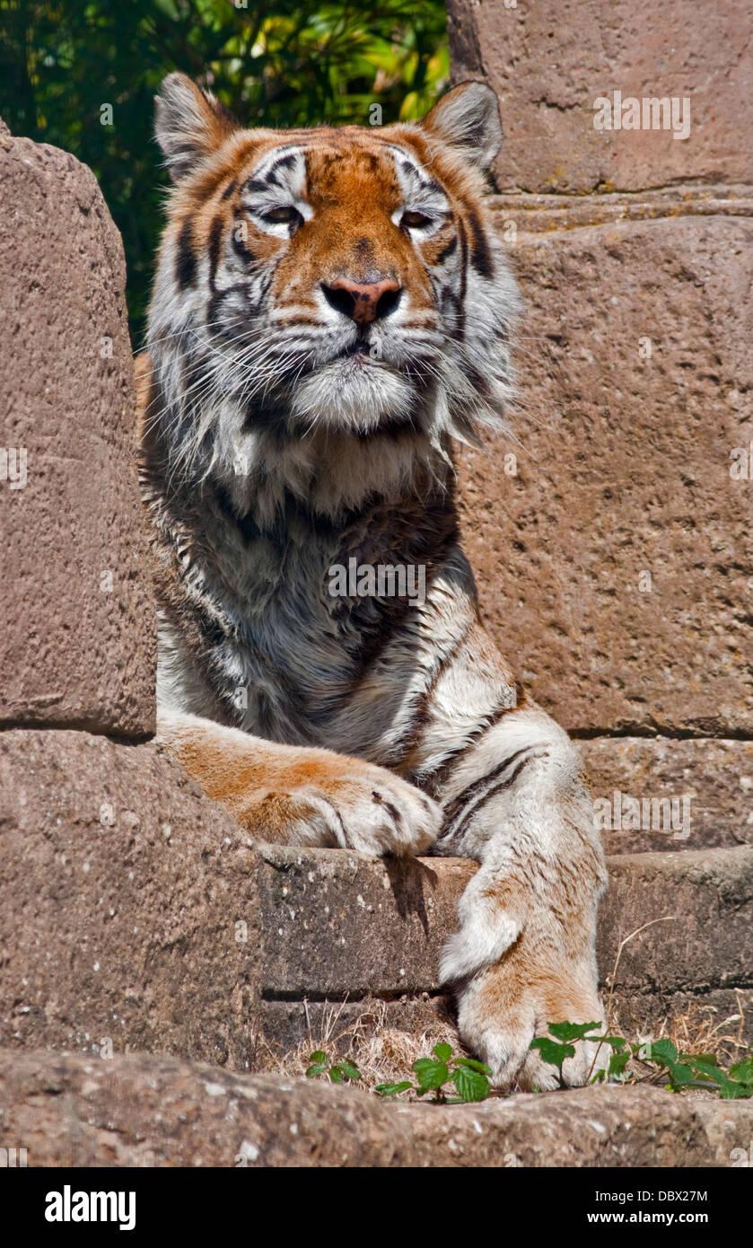 Aysha, Bengal Tiger (panther tigris tigris), Isle of Wight Zoo, Sandown, Isle of Wight, Hampshire, England - Stock Image
