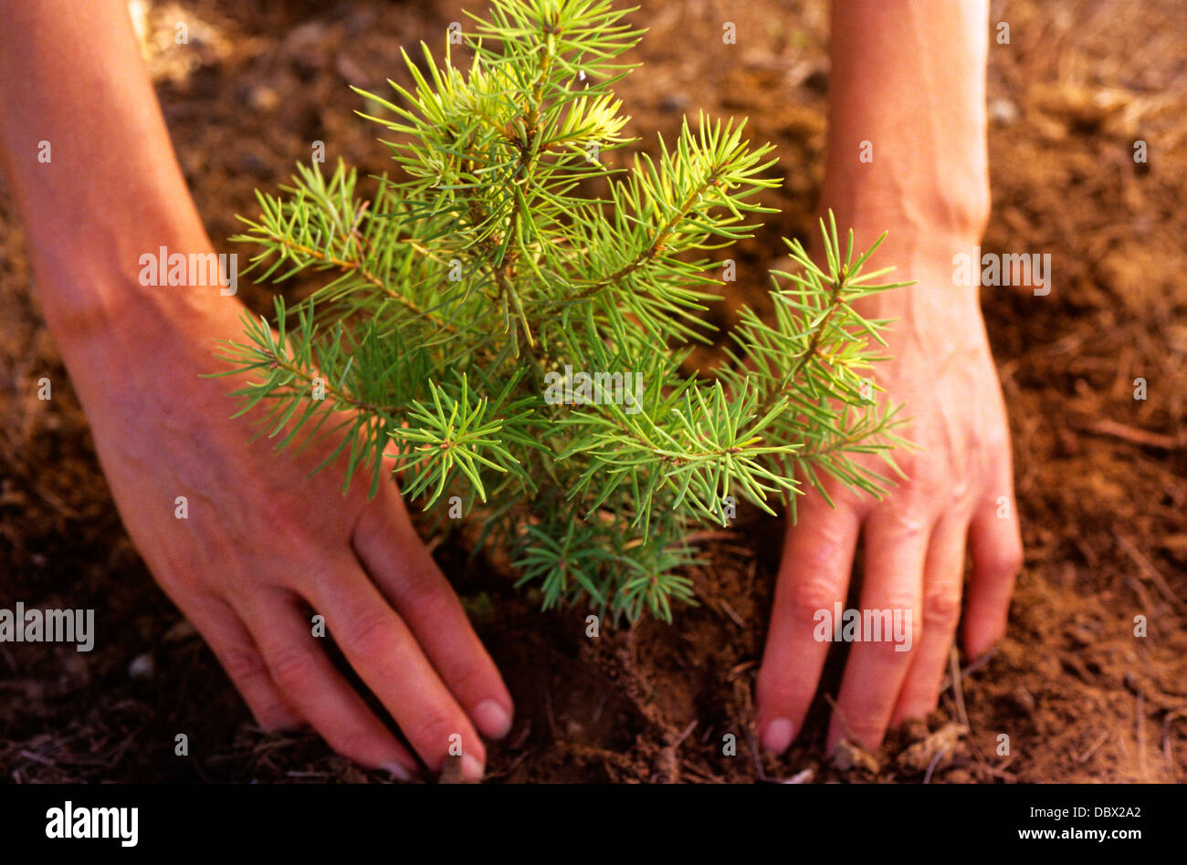 1990s Symbolic Environment Hands Planting Pine Tree Sapling Stock
